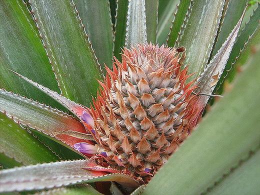 Сорт ананаса Полосатый
