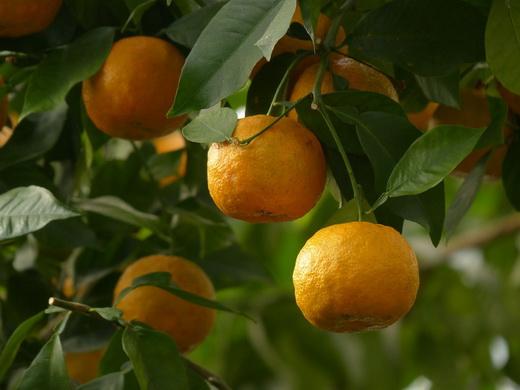 Горький вид апельсинов