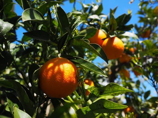 Сладкий сорт апельсинов