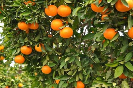 Апельсины сорта калабрезе Овале
