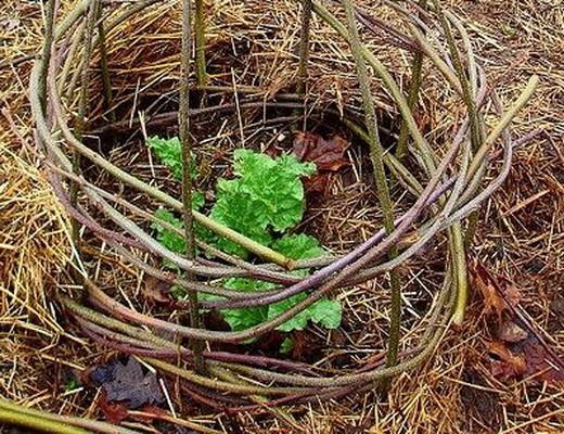 Выращивание мяты на даче