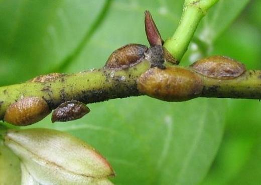 Вредители абрикоса щитовка