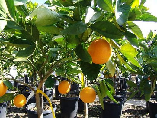 Выращенное дерево апельсина