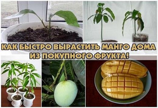 Этапы выращивания манго из косточки
