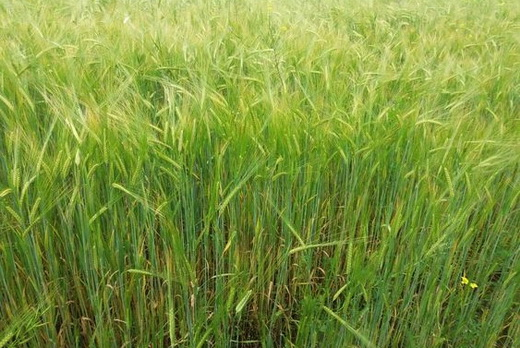 Первая подкормка зеленой пшеницы