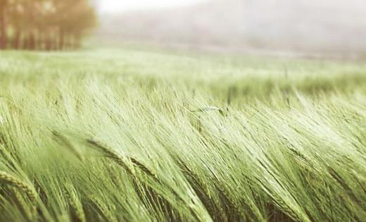 Последняя подкормка пшеницы